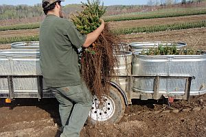 Worker loading balsam fir transplants into stock tanks