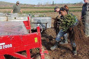 Workers with full armloads of 2-2 balsam fir transplants