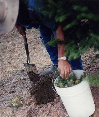 Bill Asack removing Balsam Fir Transplant from water filled bucket.