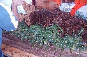 Damp sawdust added on top of the roots of balsam fir transplants  to keep them damp until planting